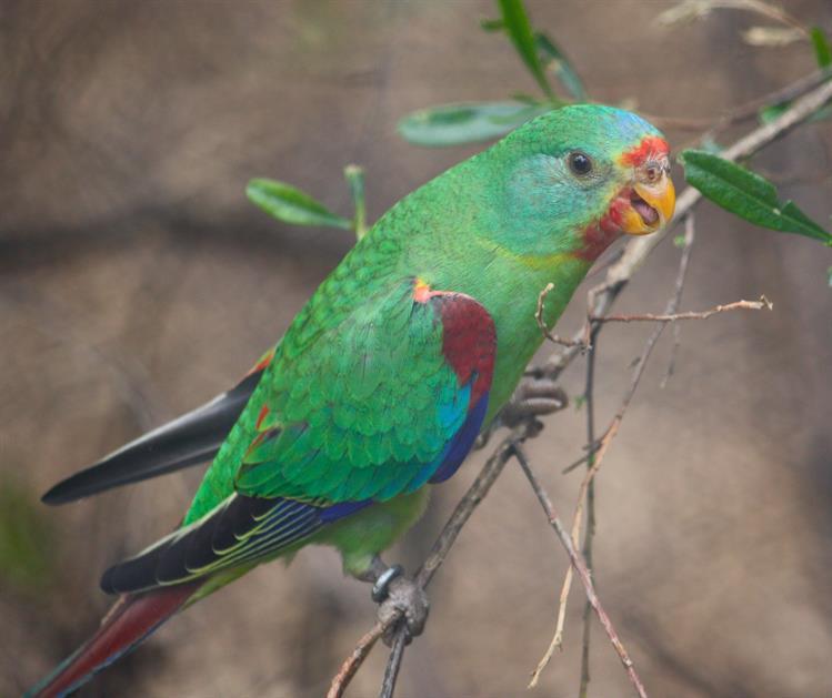 Flickr_Swift Parrot_heatherw